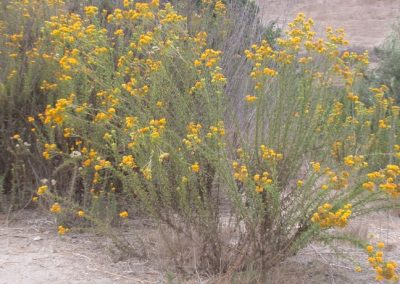 Coastal Goldenbush