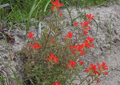 Coastal Paintbrush