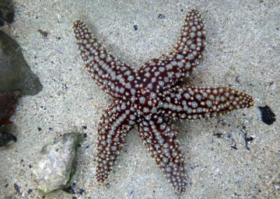 Giant Spined Sea Star