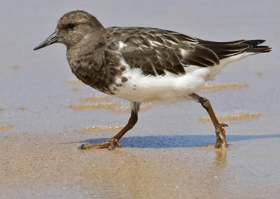 Black Turnstone IMG_5268 r900