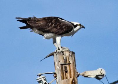 Osprey with fish on post thru window IMG_4773 r900