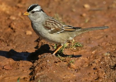 WHITE-CROWNED SPARROW IMG_1246 r900