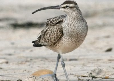 whimbrel IMG_0416 r900