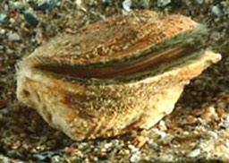 Rock Scallop