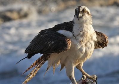 OSPREY WITH FISH IMG_4615 r900