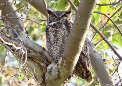 great horned owl eyes shut IMG_4195 r900